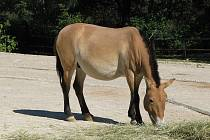 TVÁŘ PRAŽSKÉ ZOO. Koně Převalského se dočkají lepšího výběhu, po naléhavějších případech se dostane i na ně.
