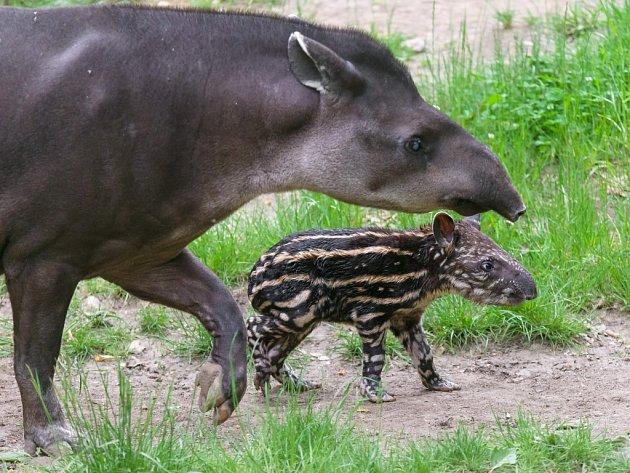 Mládě tapíra s matkou v pražské zoologické zahradě.