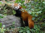 Samice Wilma je novou obyvatelkou expozice pand červených.