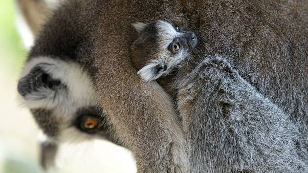 Jedno z dvojčat se drží matky Móni.