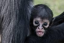 V neděli proběhnou v Zoo Praha křtiny malého chápana středoamerického, jeho kmotrem bude herec Jan Potměšil.