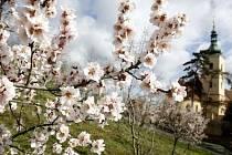 ROZKVETLÝ PETŘÍN. Rozkvetlé stromy v Seminářské zahradě pod pražským Petřínem připomínaly 5. března blížící se jaro.