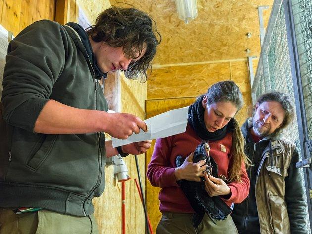 Zdravotní kontrola odchyceného devátého ibise skalního v pražské zoologické zahradě.