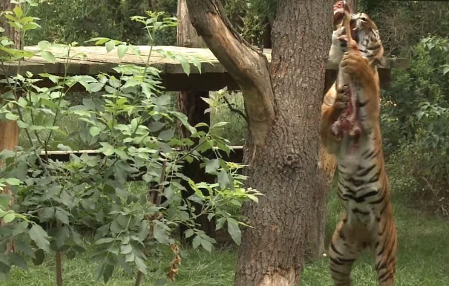 Mezinárodní den tygrů v Zoo Praha.