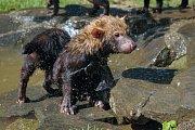 Přezdívku vodní pes nedostal pes pralesní jen tak náhodou. Umí se totiž dobře potápět a rád se dívá pod hladinu, co by mohl ulovit.
