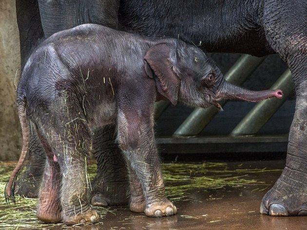 Vzápětí po narození se postavilo, ale jeho pohyby jsou ještě vratké