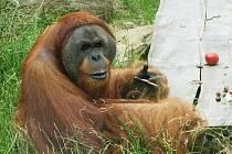 Orangutan Kama z pražské zoo.