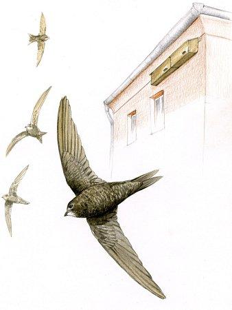 Ilustrace: Rorýs obecný je výtečný letec, který tráví celý život ve vzduchu. Na pevnou zem usedne jen při výchově potomků, vČesku však kvůli zateplování ztrácí místa khnízdění.