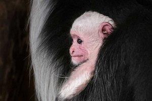 Mládě guerézy pláštíkové v Zoo Praha