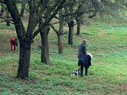 Do rozlehlého sadu na Klíčově v pražských Vysočanech chodili lidé celý den sbírat jablka, kterých tam byly stovky.