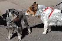 Neomezená svoboda psům nejspíš skončí. Ve většině částí Prahy budou chodit na vodítku.