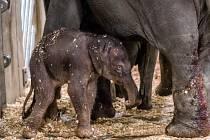 Slonici Tamaře se narodilo mládě. Je to sameček.