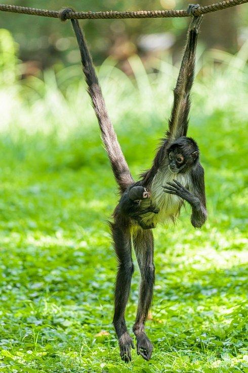 V pražské zoo se narodil vzácný chápan.
