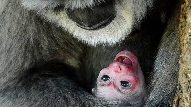 Samice gibona stříbrného Alangalang se svým prvním mládětem.