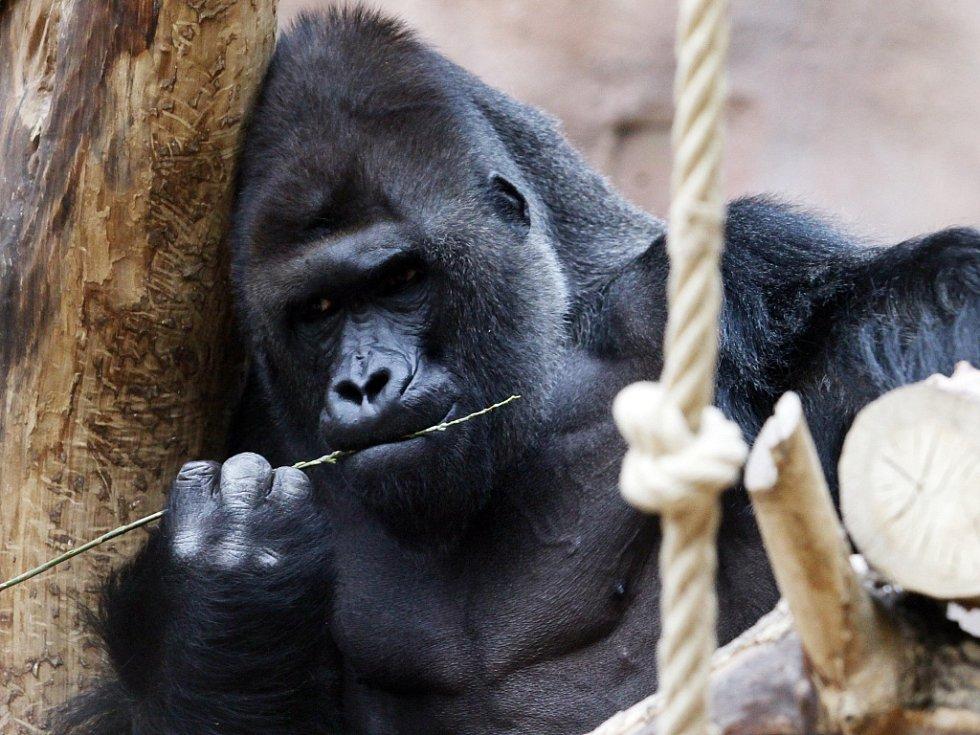 Zoo Praha - gorila