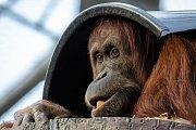 Orangutan sumaterský je považován za škůdce palem olejných a na plantážích je intenzivně pronásledován a zabíjen.