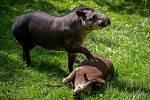 Samice tapíra jihoamerického Taluen z Francouzské Guyany se seznamuje se samcem Texem.