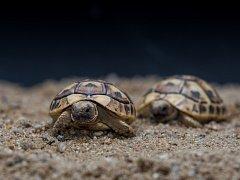 Den chovatelů želv proběhne v sobotu v Zoo Praha. Zájemci se dozví mnoho zajímavostí o želvě tuniské.