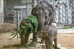 Největší radost zavládla vpavilonu slonů, kde se slůňata, zejména Maxmilián, se svými matkami o větve a stromky doslova přetahovala.