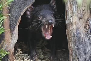 Ďábel medvědovitý alias tasmánský čert.