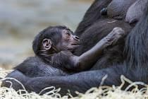 Samice gorily nížinné Shinda porodila svého prvního potomka
