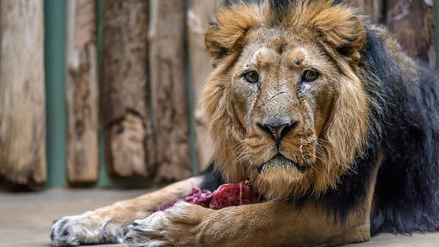 V Zoo Praha proběhlo umělé oplodnění lvice Ginni. Sperma dodal samec Jamvana. Pomáhal i Sohan z Ostravy.
