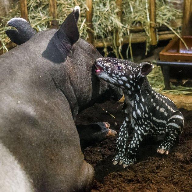 Mláďata tapírů čabrakových se, podobně jako ujiných druhů tapírů, rodí sbílými pruhy a skvrnami.