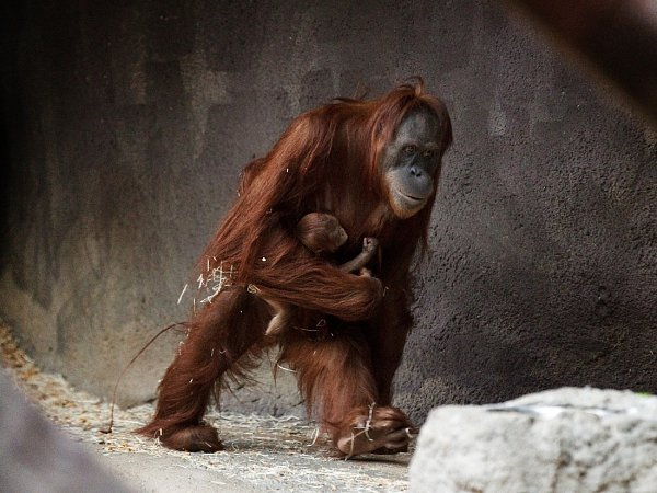Orangutaní mládě smaminkou