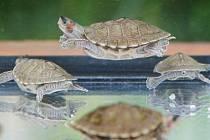 Želvy Smithovy