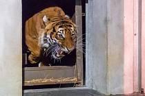 Nový samec tygra malajského Johann dorazil do pražské zoologické zahrady v noci na čtvrtek 30. října 2014.