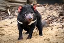 """Do Zoo Praha přicestovali čtyři ďábli medvědovití v roce 2019 přímo z Tasmánie. Na snímku samec ďábla medvědovitého Sumac (""""Škumpa""""), kterého poznáte podle přerušené bílé čáry na hrudníku. Společnost mu v expozici dělají tři samičky."""