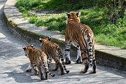 Dvojčata tygrů malajských poprvé ve venkovní expozici, kam je vyvedla jejich matka Banya.