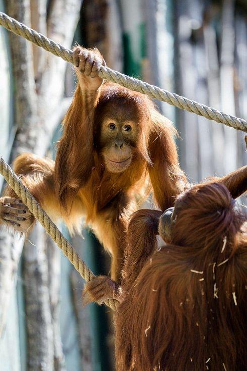 Orangutani sumaterští poprvé po zimě dováděli ve venkovním výběhu. Na snímku samice Mawar (sedí zády) a její dcera Diri.