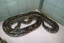 Půl druhého metru dlouhý návštěvník, kterého nikdo nezval a ani mu neotvíral dveře, vyděsil v neděli večer obyvatele panelákového bytu v Markušově ulici na pražském Chodově. Uprostřed obýváku se totiž platil had.