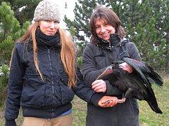 Úspěšný odchyt ibisa skalního na fotbalovém hřišti v pražských Řeporyjích.