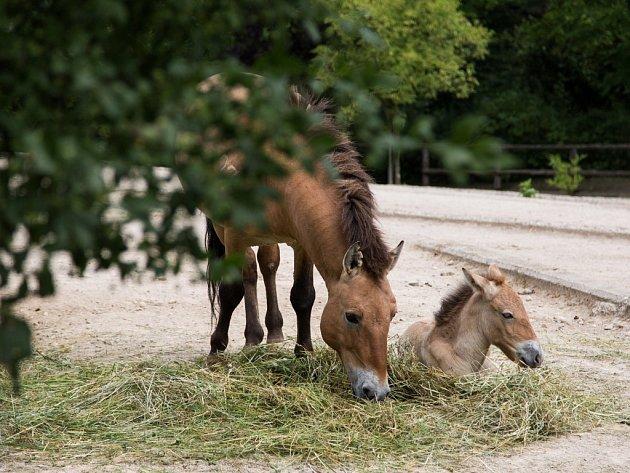 V pražské zoo se uskuteční mongolsky laděný Víkend s koněm Převalského.