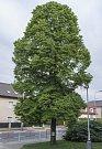 Stromy republiky - Suchdol.