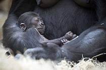 Gorila Kijivu a její sedmidenní mládě