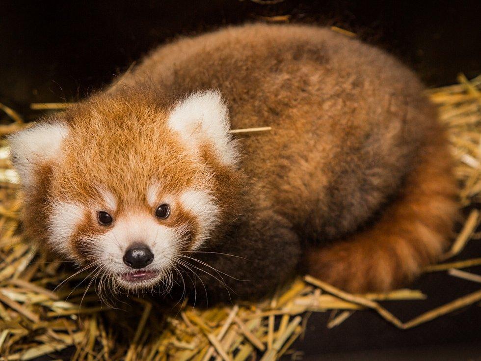 Oběma mláďatům pandy červené v Zoo Praha se daří velmi dobře. Prozatím byli v pražské zoo úspěšně odchováni samci Akim a Flin. Otcem všech mláďat je samec Pat.