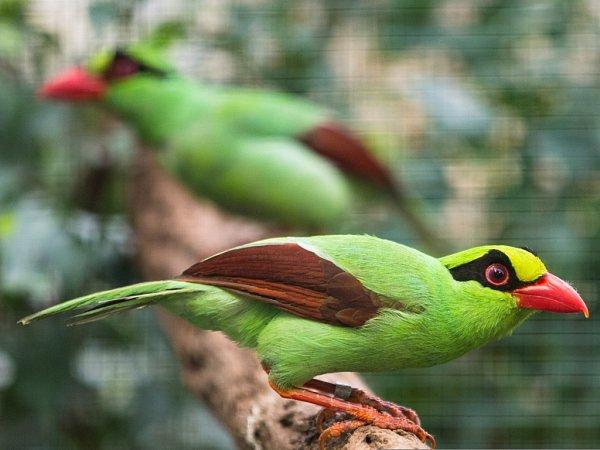 Krasky krátkoocasé jávské, latinsky Cissa thalassina thalassina (anglicky Javan green magpie) patří mezi nejvzácnější a nejohroženější ptáky světa