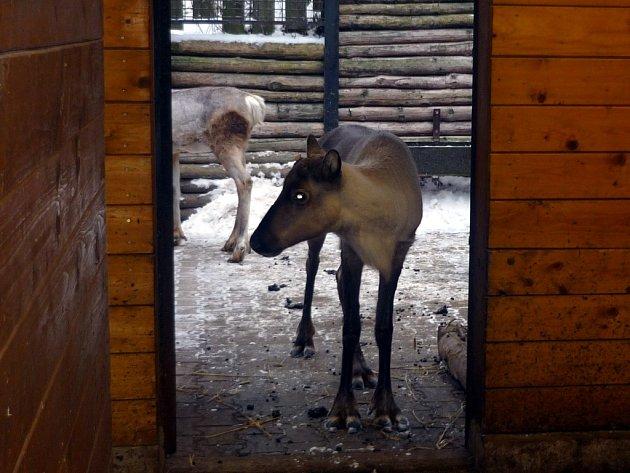 Sobi karelští si v pražské zoo v Troji.