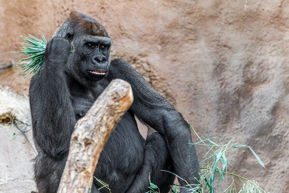 Gorilí samice Bikira.