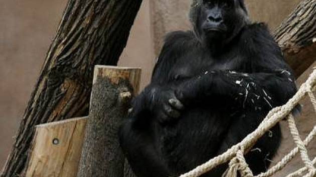 Gorila Kamba se může po nepodařeném dubnovém porodu pokusit o další mládě.