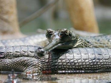 Podle ředitele zahrady Petra Fejka souvisí získání vzácných krokodýlů s mezinárodní snahou o záchranu tohoto druhu.
