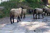 Strážníci v Praze 6 odchytli stádo ovcí, nikdo se k nim nehlásí.