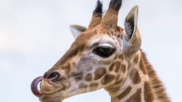 Žirafí sameček v Zoo Praha dostal jméno Matyáš.