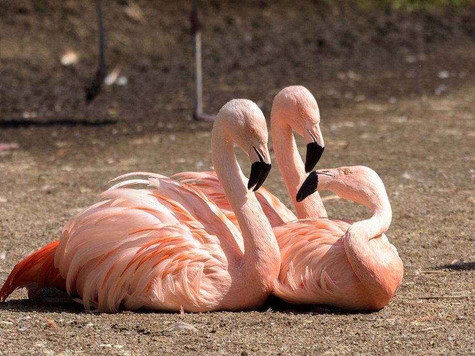 Plameňáci chilští jsou nádherní a snadno rozpoznatelní díky světle růžové barvě peří.