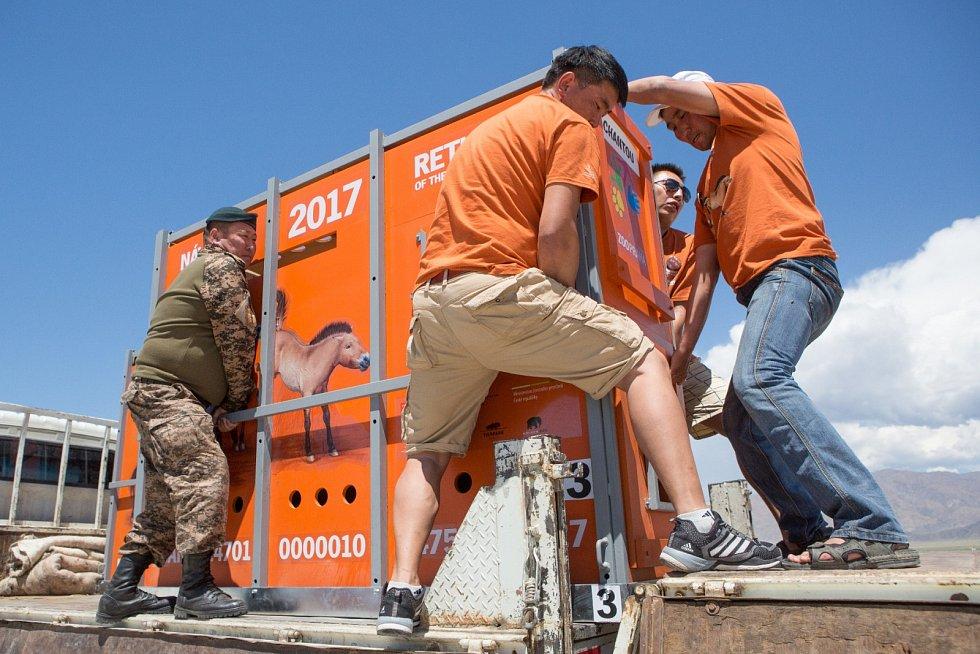 Koně jsou po příletu překládáni z letadla na nákladní auta. Po vyřízení nezbytných formalit na letišti vyrážejí na cestu.
