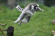 Lemur kata předvedl návštěvníkům zoo své akrobatické dovednosti.