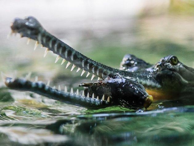 Komentované krmení gaviálů je novinkou zimní sezóny pražské zoo.